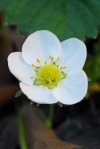 A perfect strawberry blossom on it's way to my table.