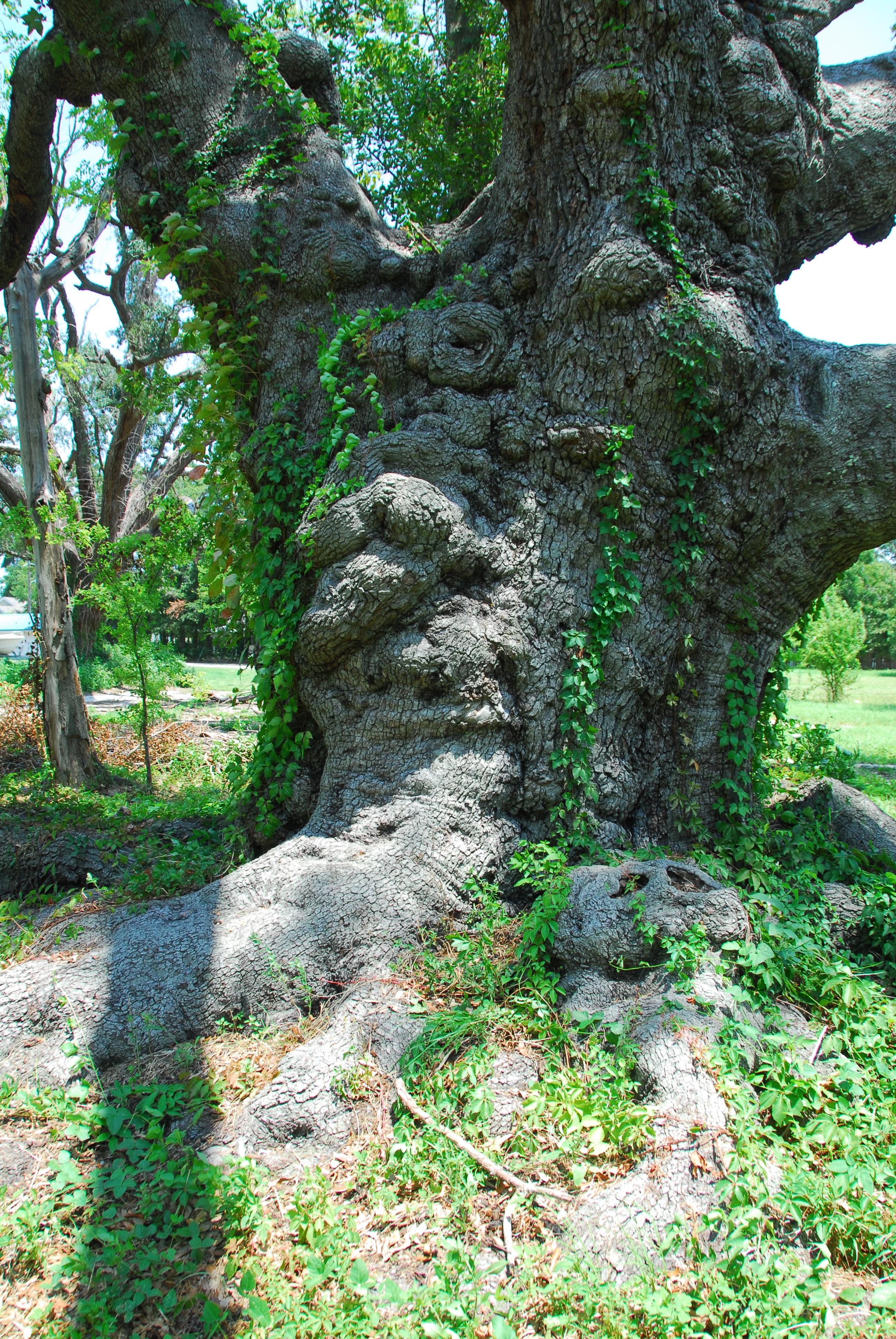 oak trees   From My Backyard