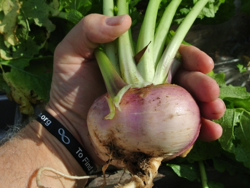 An extra large turnip!
