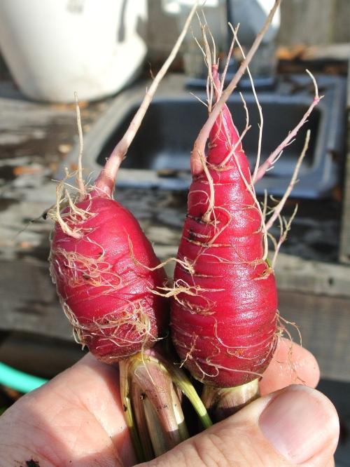 Kozmic Purple carrots