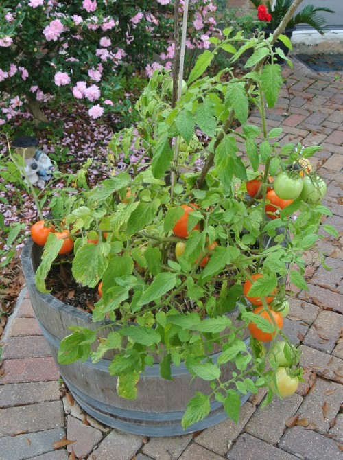A barrel full of tomatoes nearly ready to pick,