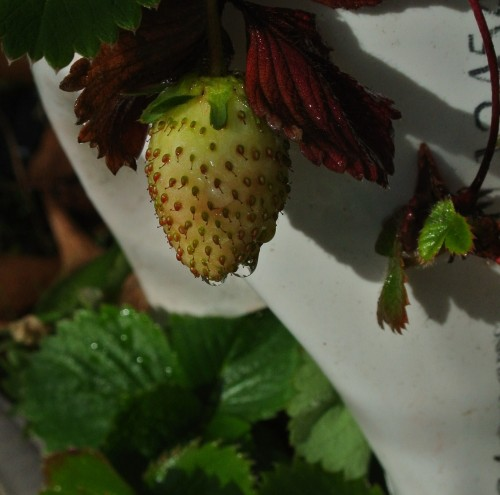 Strawberry in the tower beginning to ripen!