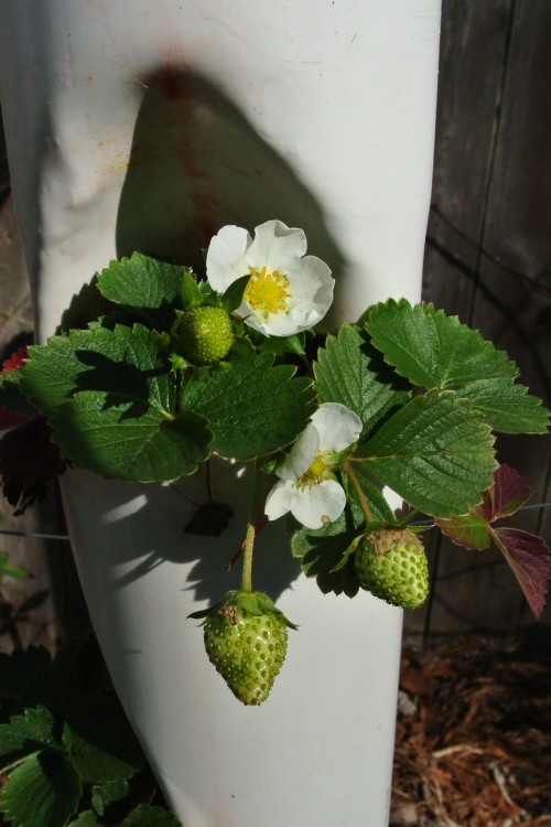 One of the Strawberry tower pockets headed toward a bountiful harvest.