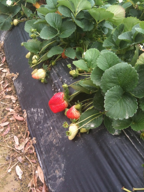 Very large and early strawberries.