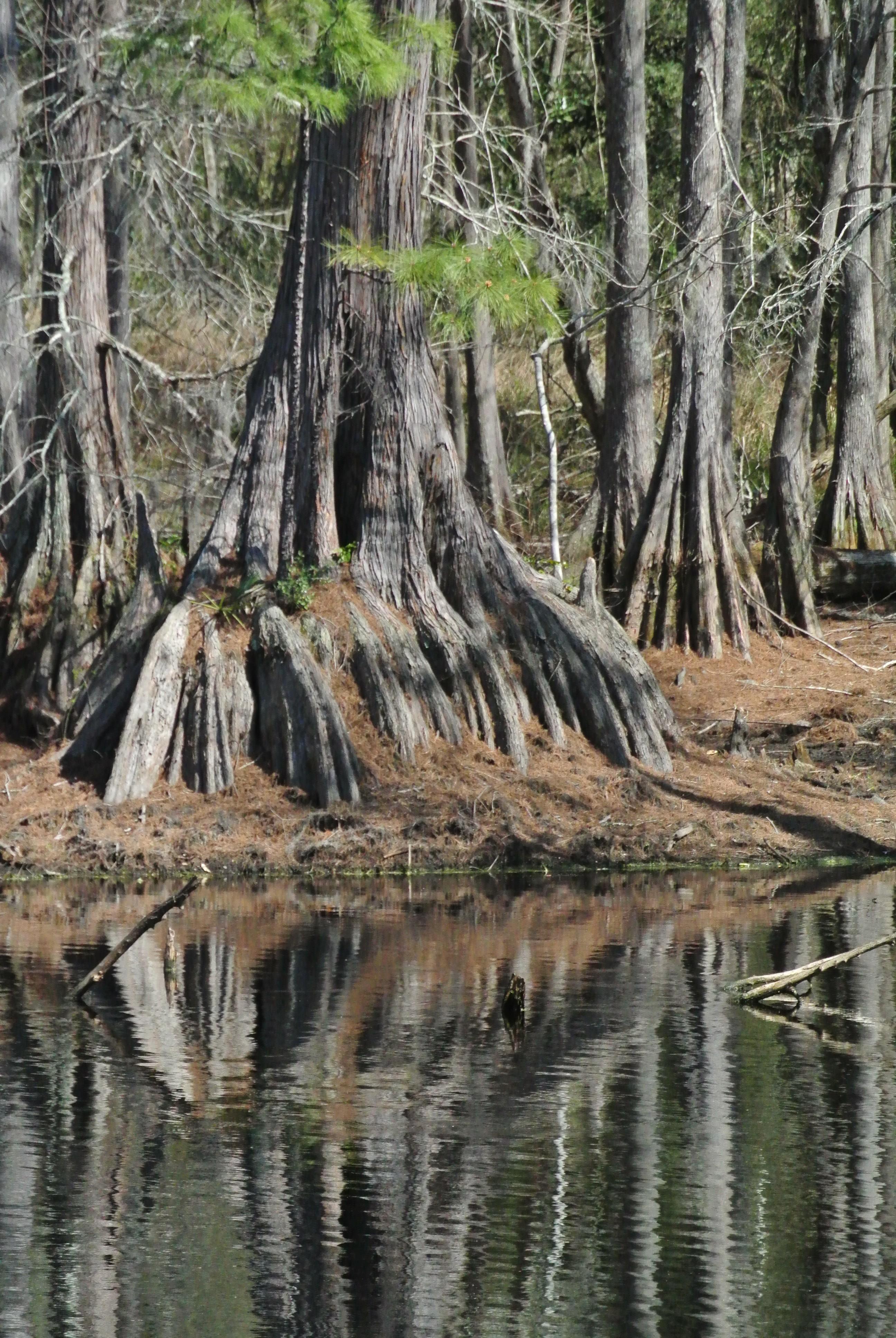 One of the many large Cypress trees ringing Lake Isabel.