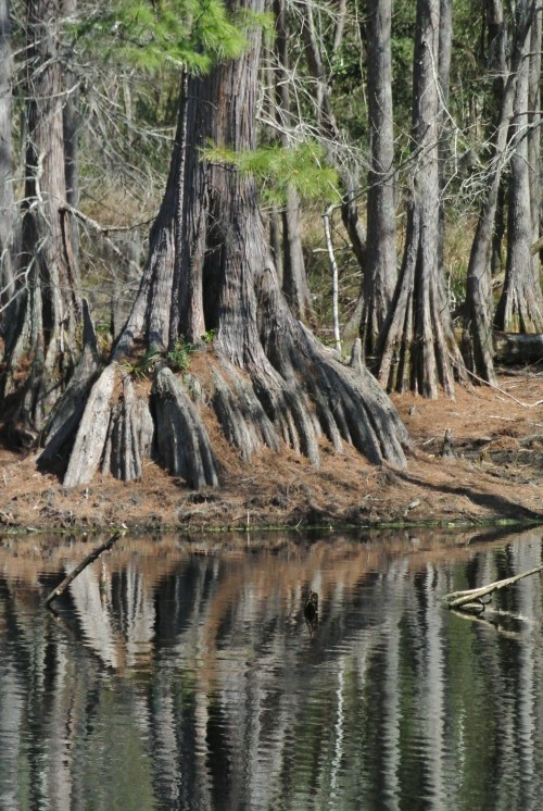 One of the many large Cypress trees ringing Lake Isabel.