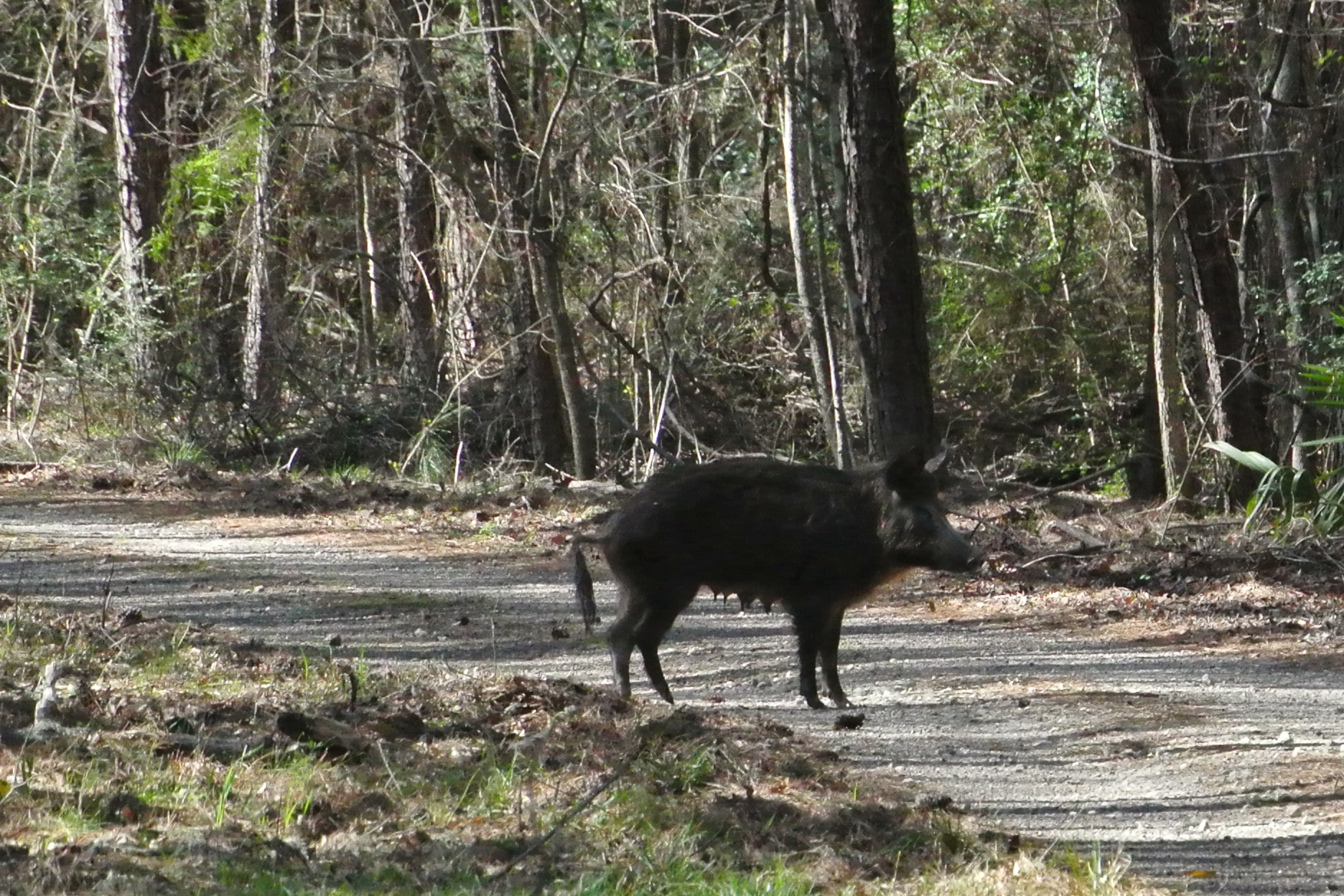 The wild sow on her way across in front of us
