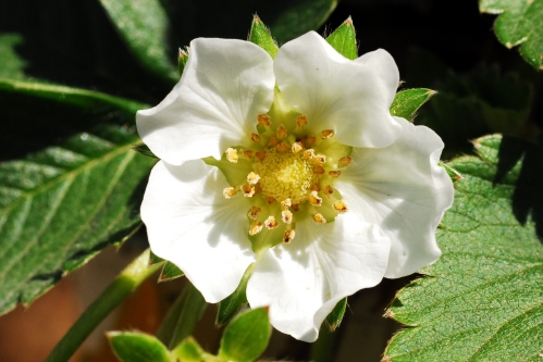 Very nice strawberry  blossom