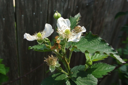 One of the many blackberry clusters.