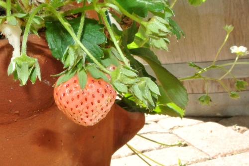 A ripe Pineberry. At this stage it is almost overripe. The best stage is just a blush of pink and the seeds are red.
