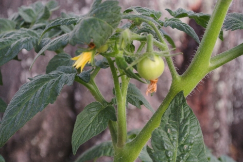 The newest tomato on the patio plant.