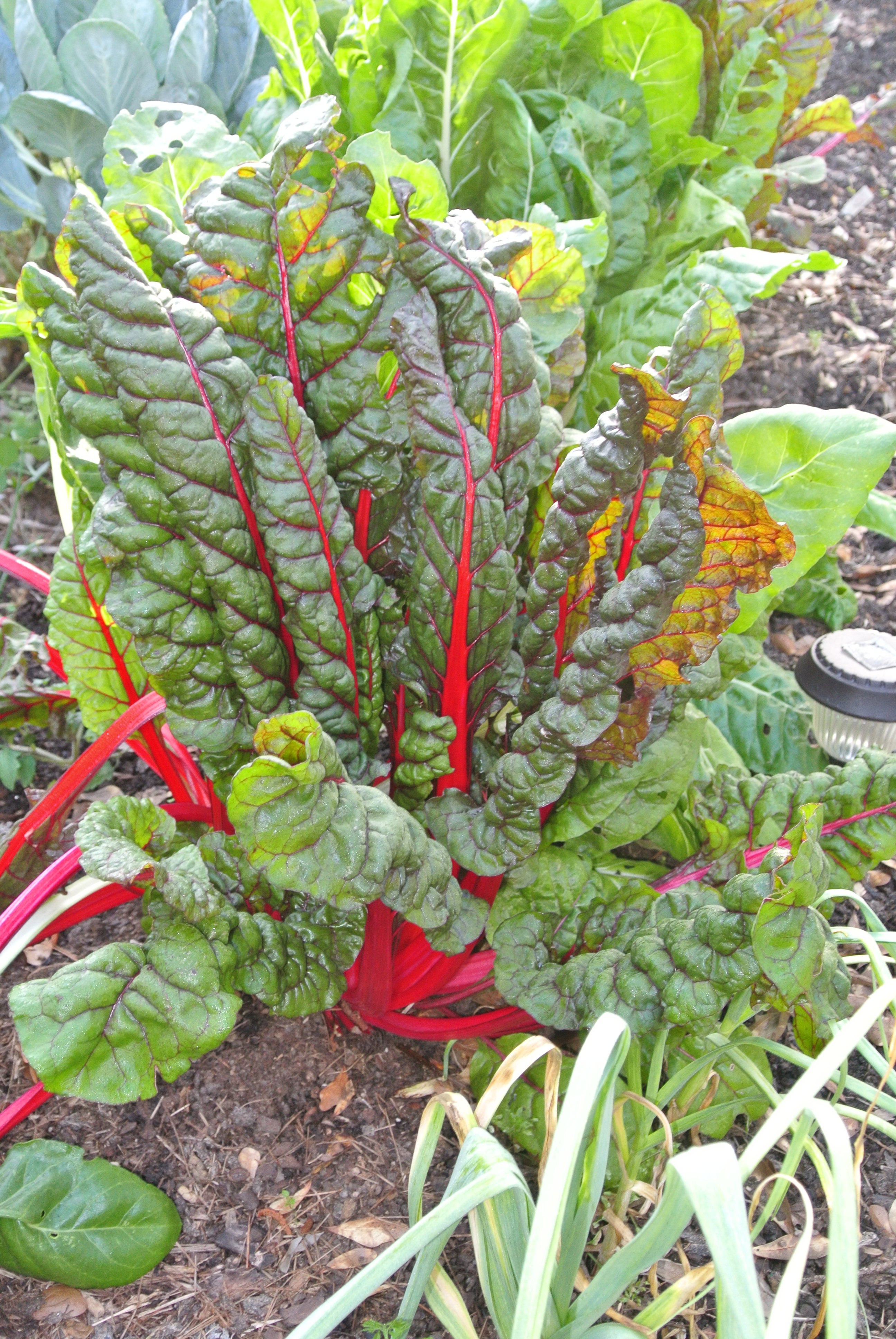 Some of my Swiss Chard