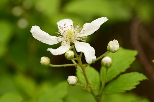Dewberry Blossom