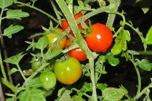 The May 10th tomatoes picked in the dark. Dark at 10:30 AM. Yes AM - today's storm is very dark. 4 inches per hour of rain heading our way!