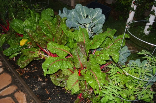 Chard, Brussels Sprouts and some tomatoes
