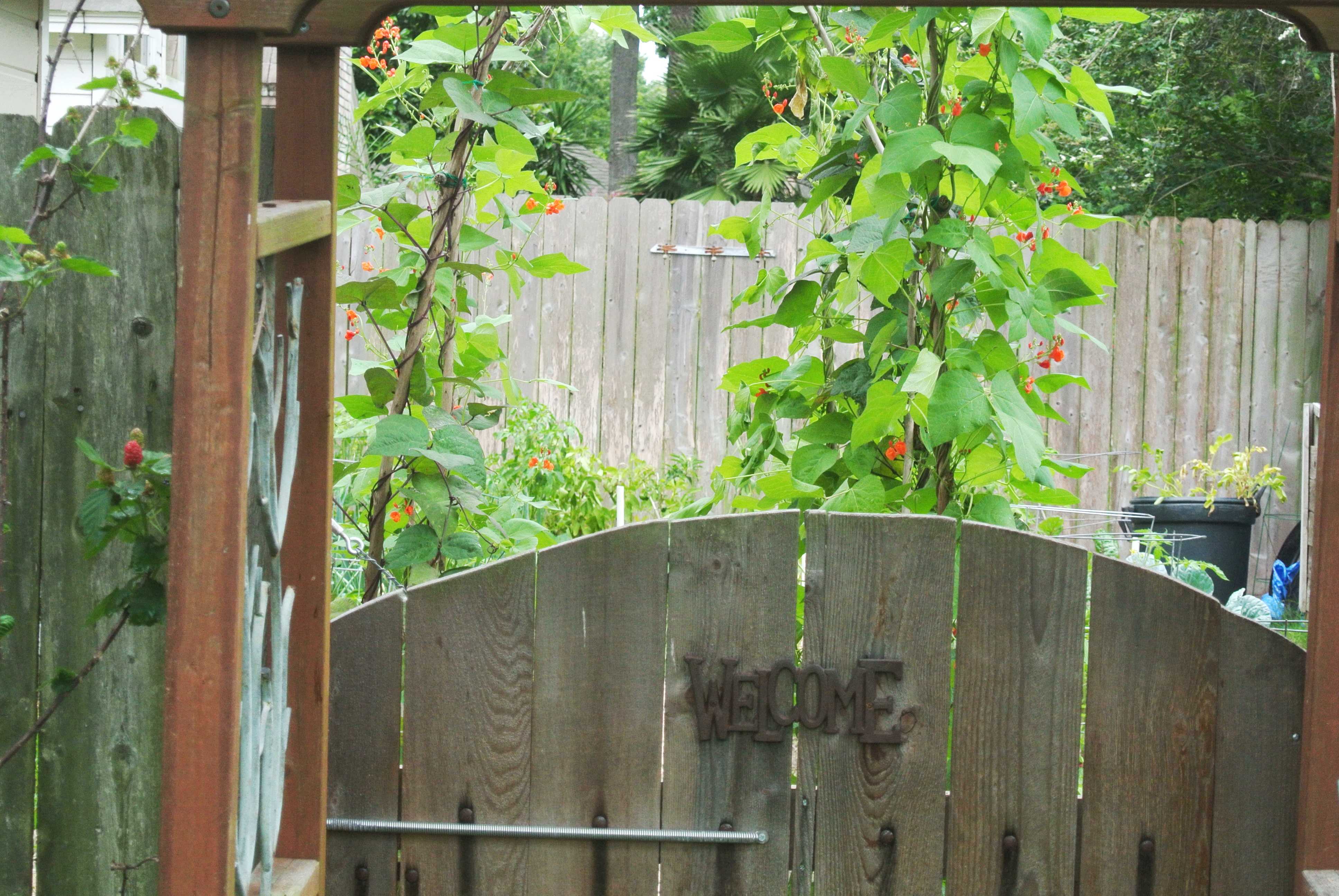 Gate to my garden with the pole bean arches seen behind the gate.