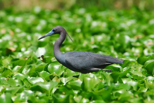 Little Blue Heron....I did an internet search. Did I get it right?