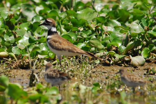 A Killdeer and some young out of focus in the foreground.