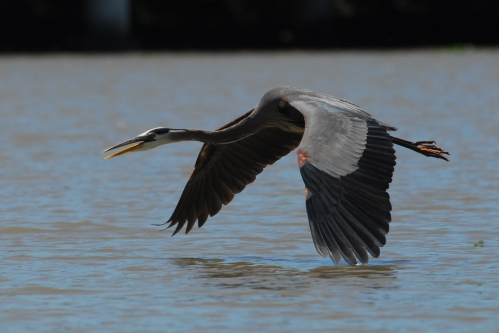 Cruising and skimming across the water - another Great Blue Heron.