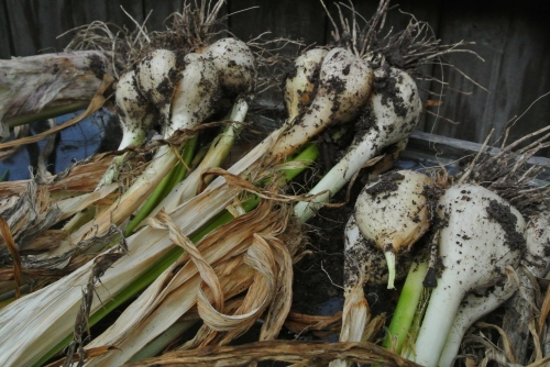 Some of the day's harvest - Elephant Garlic.