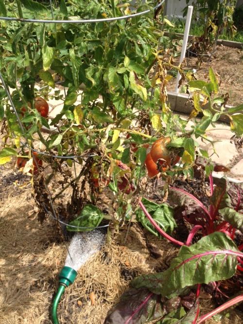 Celebrity Tomatoes