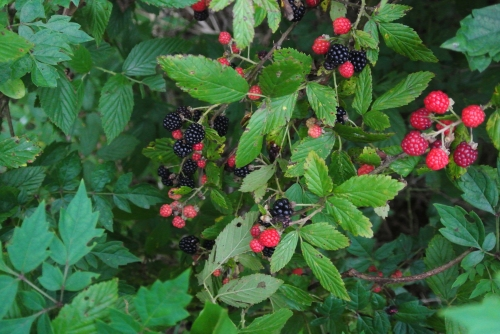 Thorny, scratchy and very tasty wild dewberries.