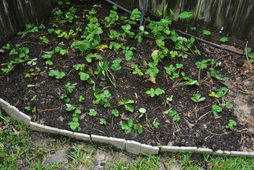 The newly planted strawberry bed