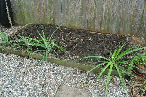 Pineapples - or hopefully this year they will fruit.
