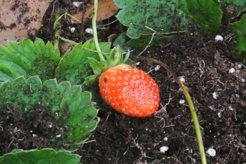 One of several confused strawberries. This was the little one I ate! Yum