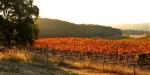 Big oak adjacent to the vineyards