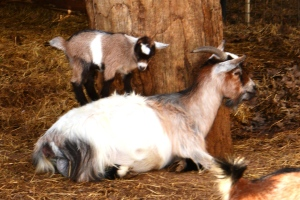 Pygmay goats in the feed store yard along with peacocks, pot belly pigs, miniature horses and burros....fun place to visit.