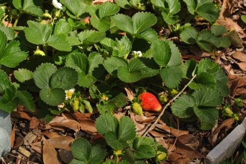 A healthy berry bed....more berries on the way!