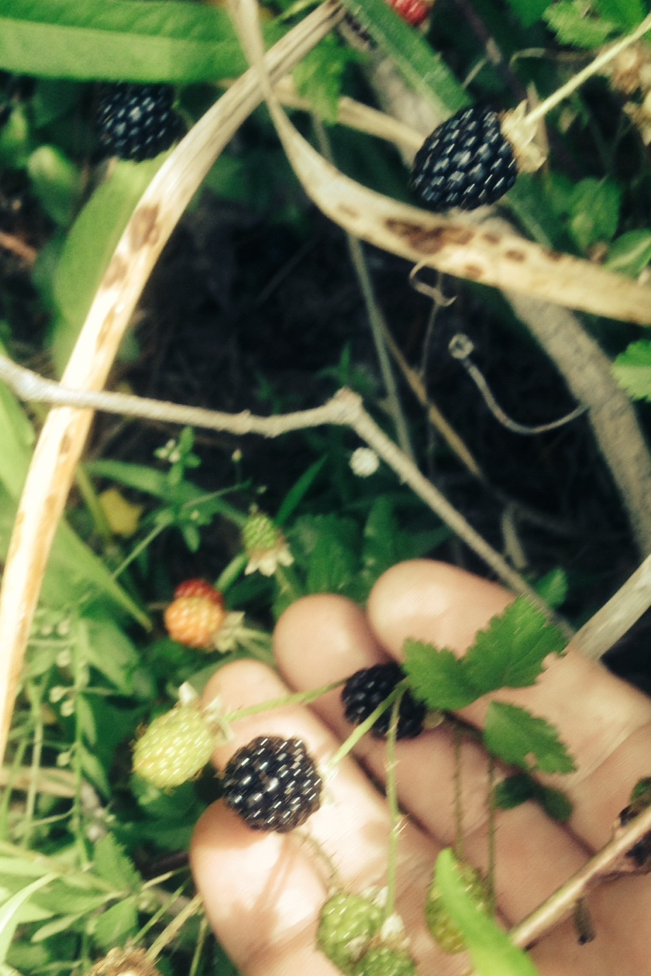 Wild Dewberries...tiny but very tasty!