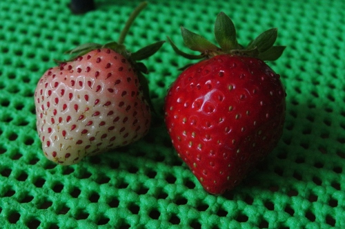 So - Which berry is ripe? They both are. The berry on the left is the Pineberry. When the seeds are red and a hint of pink is showing....it is ready to pick, taste, consume and enjoy!