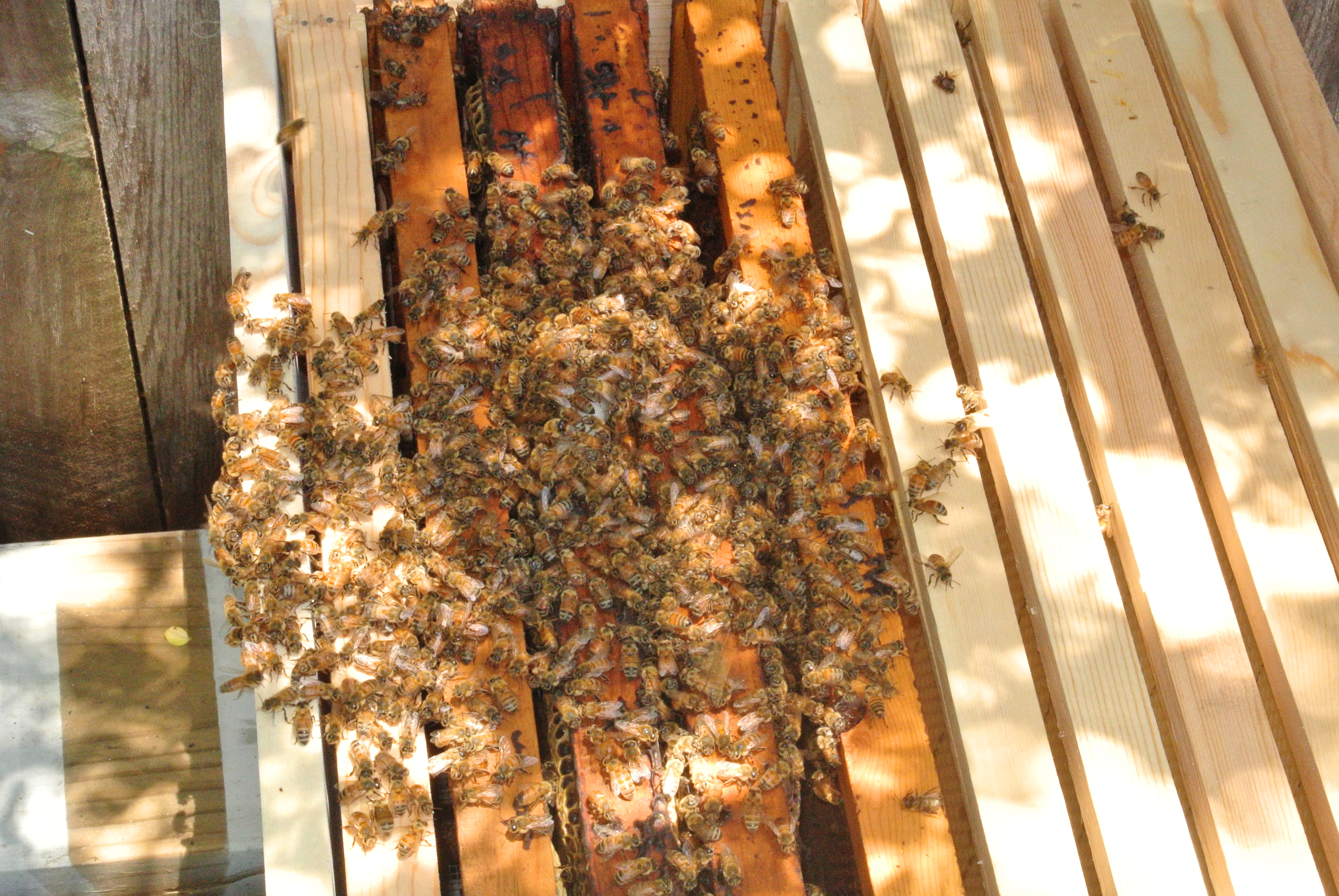 The new bees clustered around their frames installed into my hive.