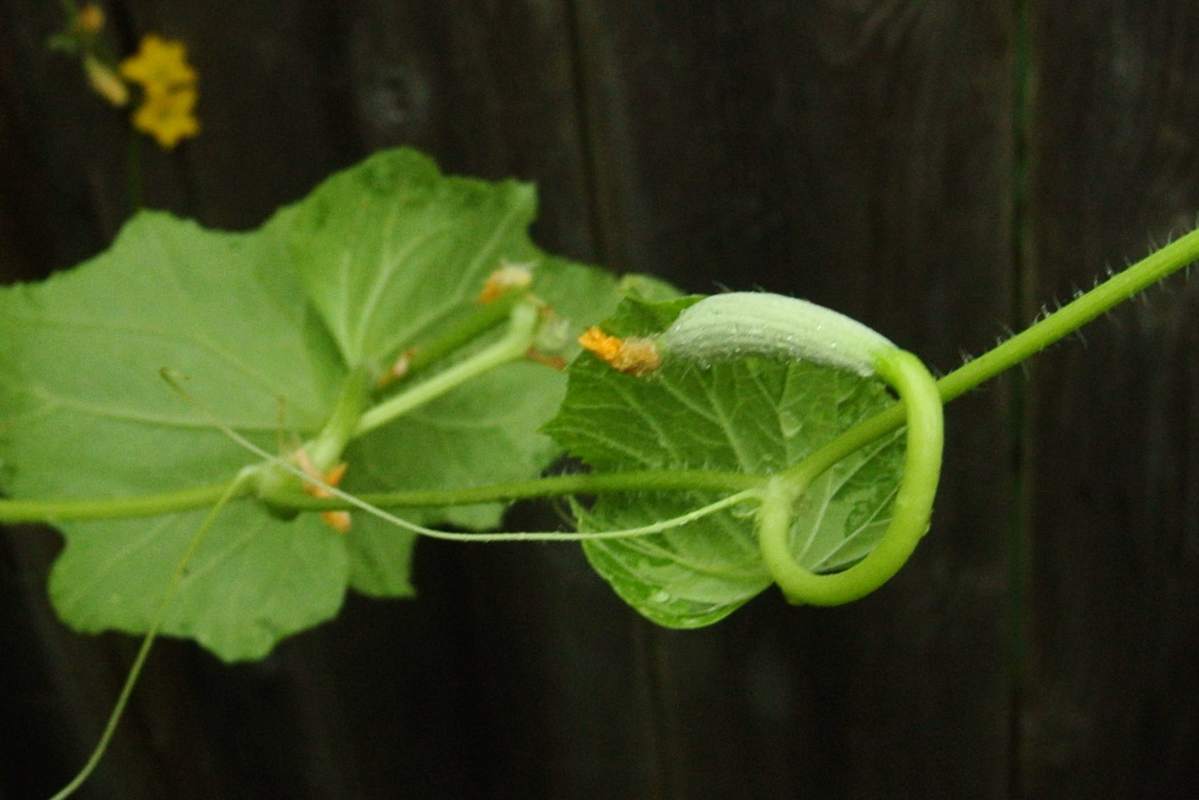 An Armenian Cuke developing.