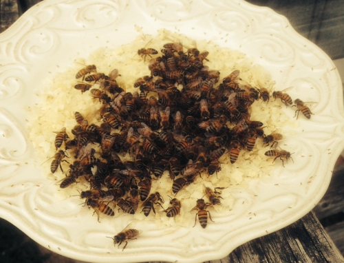 Bees working on the honey coated beeswax. They were making great progress.