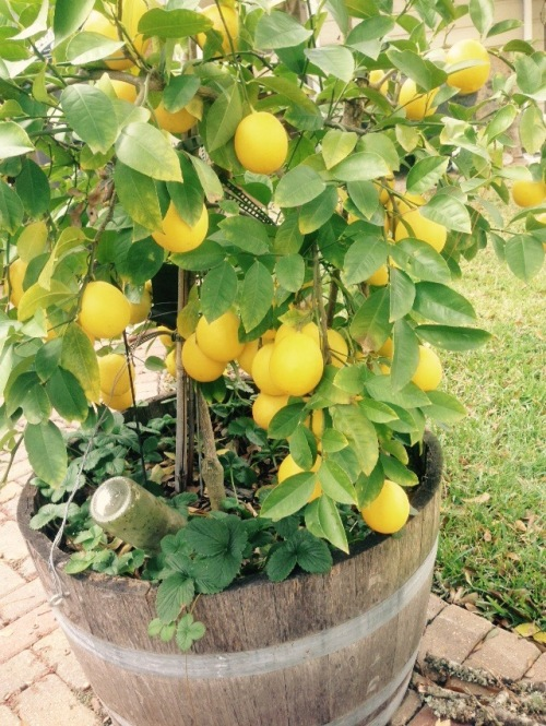 My little dwarf Meyer Lemon tree on an earlier day.