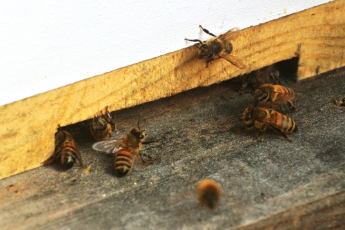 Coming and going....busy little bees
