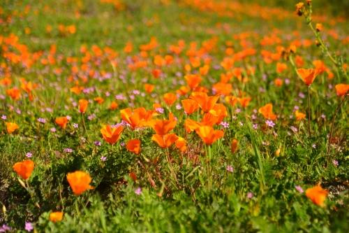California Poppies dominate the scene.