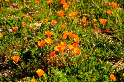 Brilliant California Poppies