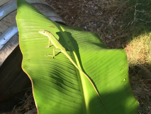 I caught a shot of one of my bug catchers hanging out on a banana leaf with my iPhone the day before....They are so good looking.
