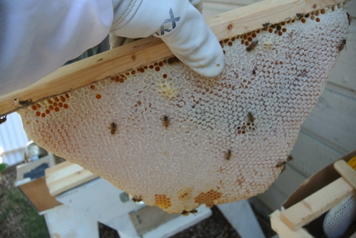 A nice capped section of honeycomb ready to be cut off the bar.