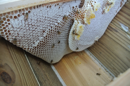 I am always amazed at how the bees draw comb....almost artistic in form and construction.