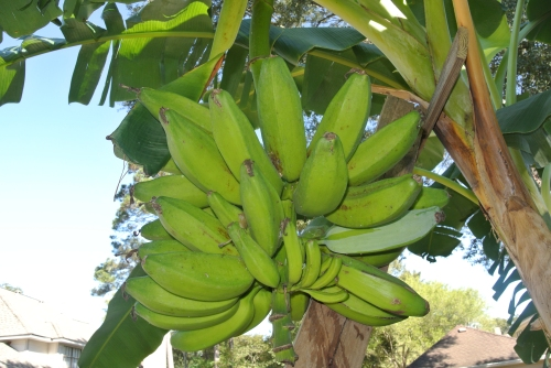 My hanging banana storage in the garden.