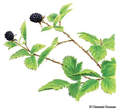 Dewberry Agarita