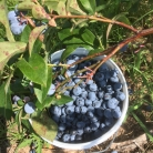 A beautiful sweet pail full of ripe berries.